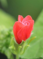 red turks cap